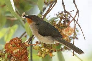Chestnut throated Apalis