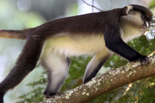 Dents mona monkey Nyungwe