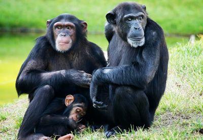 Ngamba chimps